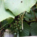 山菜採りヤマブドウ新芽