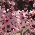 桜 ヤマザクラ