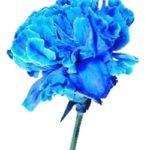 青いカーネーション
