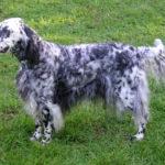 犬の性格と特徴「イ」から始まる名前