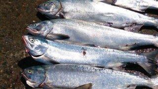 十勝で鮭釣りをするならここで釣れ!釣れるポイントBEST3