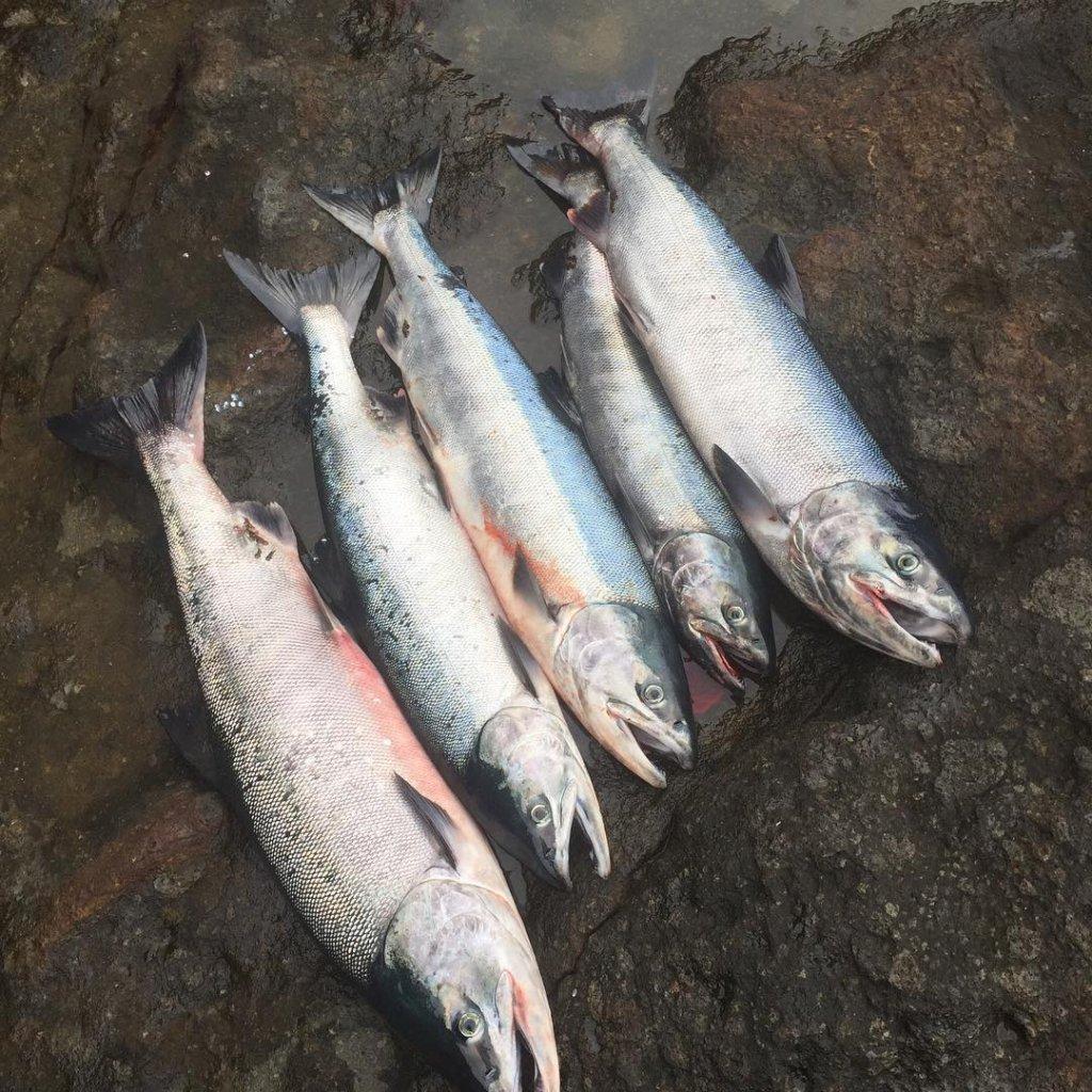 アキアジ釣り